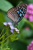 Dark Blue Tiger butterfly (Tirumala septentrionis)