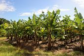Banana Plantation In Sun