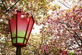 Japan Mint cherry blossom season