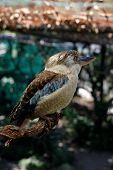 picture of blue winged kookaburra  - A Blue - JPG