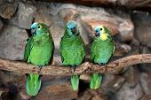 Three Blue-fronted Amazon (amazona Aestiva)