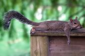 stock photo of prone  - extremely lazy squirrel lying down on the bench - JPG