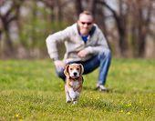 Running Beagle Puppy On The Walk