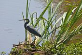 picture of cattail  - A Great Blue Heron  - JPG