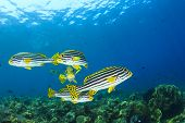 School of Fish underwater on coral reef: Oriental Sweetlips