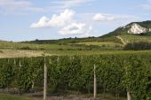 Vineyards Of Palava