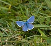 foto of adonis  - Adonis Blue butterfly on South Downs in West Sussex - JPG