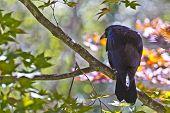 Watchful Crow