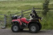 Sheep Dogs On A Quad Bike