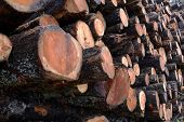 Larch Logs At Logging