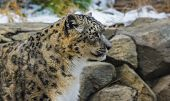pic of snow-leopard  - Snow leopard in the snow covered mountains - JPG