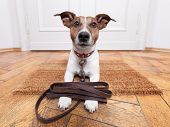 image of punishment  - dog with leather leash waiting to go walkies - JPG
