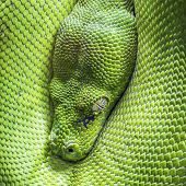 stock photo of green tree python  - Eye of a green tree python head - JPG