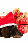 Wire haired dachshund with red hat of Santa Claus isolated over white background