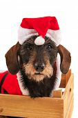 Wire haired dachshund with red suit of Santa Claus in wooden crate isolated over white background