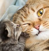 stock photo of tabby-cat  - little kitten with shocked mother cat - JPG
