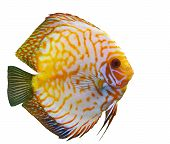 stock photo of diskus  - tropical fish diskus on a white background - JPG