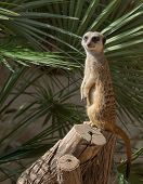 Suricata in a zoo of Barcelona on a tree
