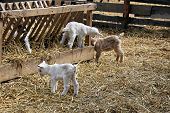 picture of baby goat  - A traditional farm with baby goats in a fence - JPG
