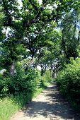 Oak trees forest