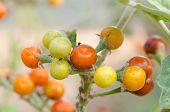 Solanum sanitwongsei