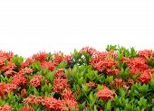 Ixora  Flower Isolated On White Background