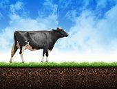 Farm Cow Walking On Grass Soil