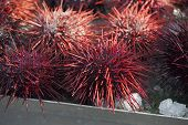 Pacific Northwest Sea Urchins