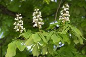 Flowering chestnut tree (Aesculus hippocastanum)