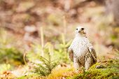 The Gyrfalcon Falco Rusticolus