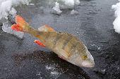 Winter Perch Fishing Leisure