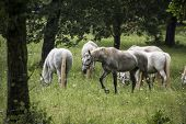 stock photo of lipizzaner  - Young Lipizzan horses - JPG
