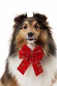 Close-up of shetland sheepdog wearing red bow