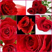 Beautiful roses collage, close up