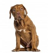 Dogue de Bordeaux puppy sitting (4 months old)