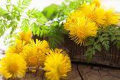 coltsfoot flowers spring herbs and scissors
