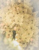 foto of cassia  - close up cassia fistula flower or golden shower cassia or indian laburnum background - JPG