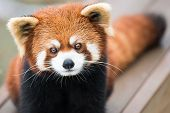 stock photo of panda  - Frontal portrait of a Cute Red Panda - JPG