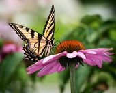Tiger Swallowtail On Coneflower II