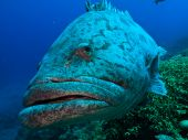 Close Up Of Great Barrier Reef Giant Potato Cod Fish Australia