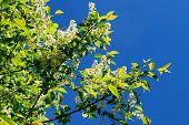 Branch And Blossom Of Bird Cherry (prunus Padus). Closeup.