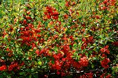 Chaenomeles, Or Japanese Quince Red Blooming Background