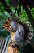 foto of curio  - Curios Squirrel with long tail in London Hyde Park - JPG