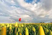 Red Tulip On Yellow Field In Spring