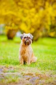 brussels griffon dog outdoors