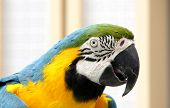 Closeup of a blue and yellow macaw