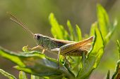 stock photo of locusts  - Locust  - JPG