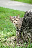 Stray Tabby Cat Hiding Behind A Rock Near A Path