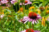 Echinacea Or Coneflowers