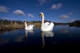 picture of bull rushes  - A pair of swans and bull rushes on Bolam Lake in Northumberland UK - JPG